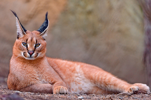 Caracal cat lying on the ground.