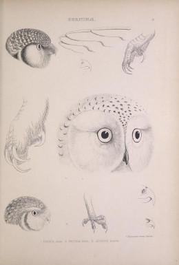 Genera of birds Strigiformes head types
