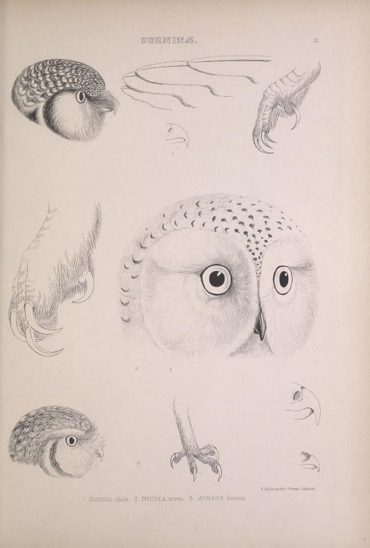 Genera of birds Strigiformes head types