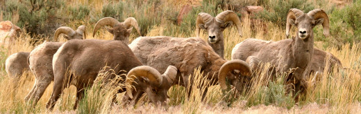 This group of bighorn rams was photographed near Sunnyside, Utah.