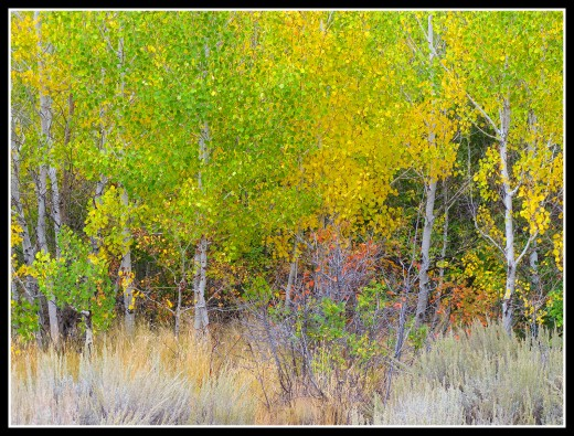 Early autumn aspens on the Lower Whites Creek trail.
