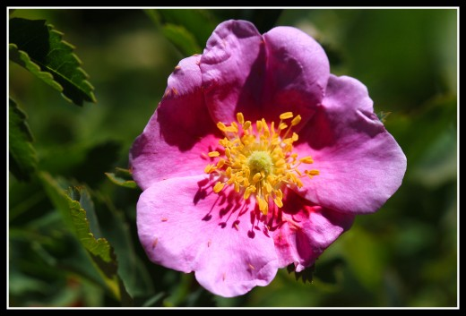 Woods' rose