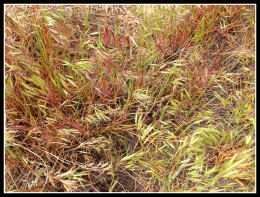 Cheat grass