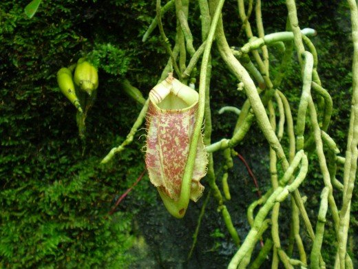 The pitcher plant, of the carnivorous plants collection.
