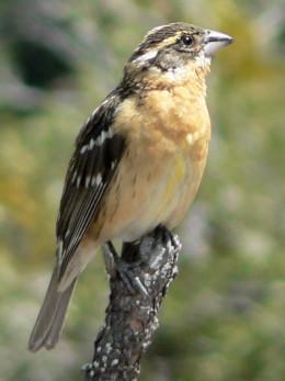 Pheucticus melanocephalus  Black-headed Grosbeak adult female