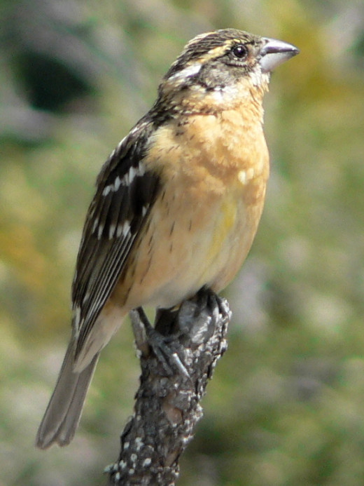 Pheucticus melanocephalus  Black-headed Grosbeak adult female