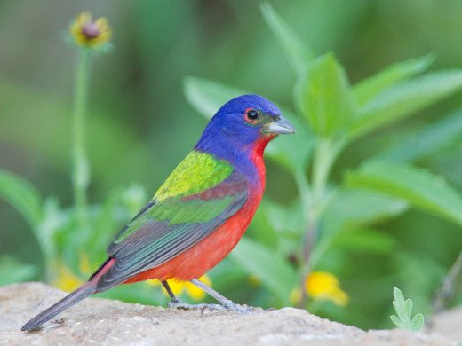 Not all birds will be as easy to identify as this Painted Bunting.  Brush up on the basics before you head into the woods