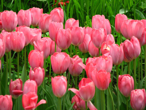 Picture of a Bed of Pink Tulips. These pink tulips were planted in the fall for a great display for spring bloom.
