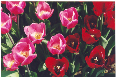 Picture of Pink and Red Tulips in a bed of Tulips. Also tulips that are mixed in bloom and planted in the fall and  ready for bloom the following spring.