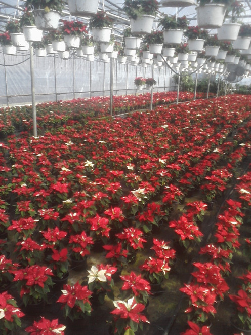 Poinsettias in greenhouse growing potted on the floor of the house and hanging baskets of Poinsettias above.