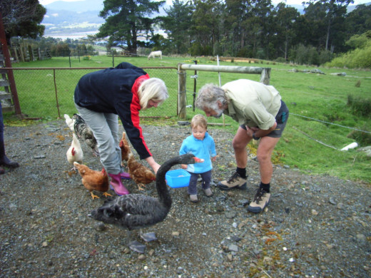 Duck like to help visitors feed our hens.