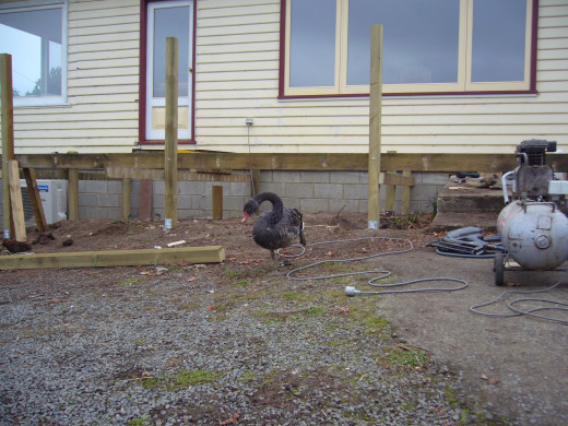 Duck helped us build a deck.  He really loved the compressor. The minute he heard it go on, he'd waddle up from the dam next door and hang around and help.  He really put his beak into everything.