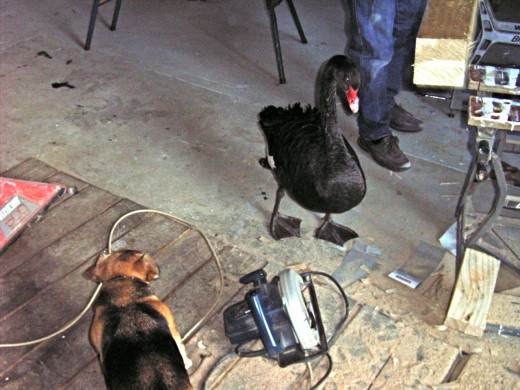 Duck liked nothing better than to tell 'Gerty the Wonderdog', our dog, how to use power tools.  Duck is supervising in this picture.