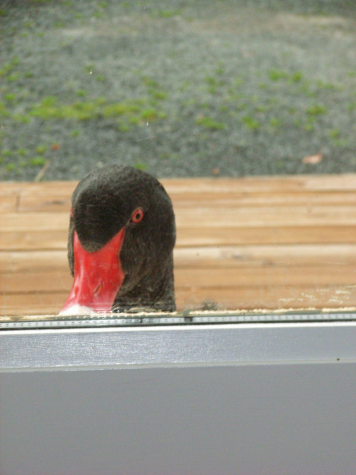 Duck liked to start the day by knocking on the door, and asking himself in for a coffee.