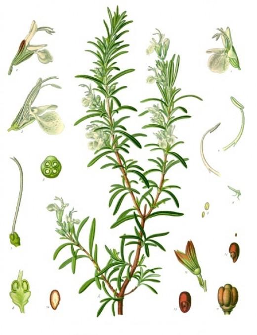 Kohler's Medizinal Pflanzen  Public domain