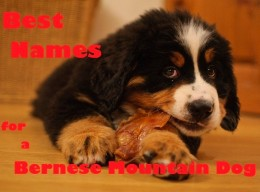 A Bernese Mountain puppy at only 8 weeks.