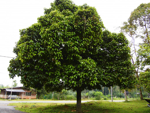 Garcinia Cambogia Plant Weight Loss