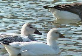 Snow Goose(Rear) with Ross's Goose(Front)