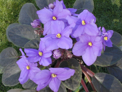Light Blue African Violet