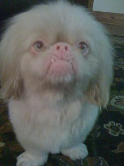 Handsome albino Pekingese named Fu, owned by Elizabeth Basinger