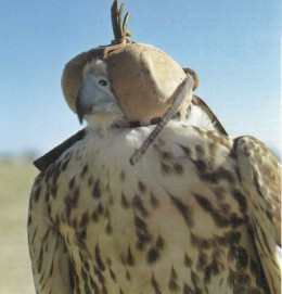 This saker falcon has gone through the various training processes and is now hooded and ready for hunting. This bird particularly is used in Saudi Arabia and the Persian Gulf to hunt bustard.