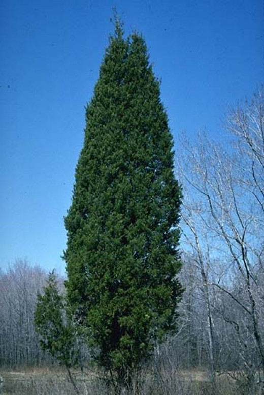 Eastern Red Cedar ~ Maintaining a cedar closet hubpages