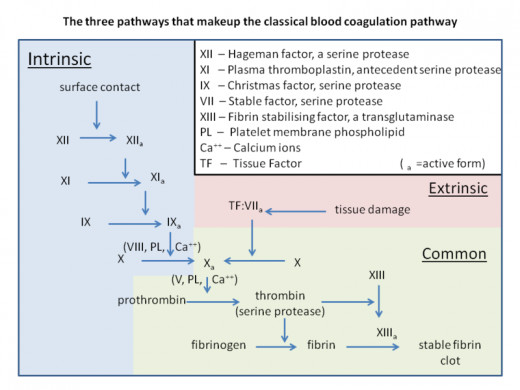 The coagulation cascade has 13 factors including factor I (fibrinogen) and factor II (prothrombin) . As is the case with factors I and II most of the factors circulate in inactive forms.  Source: Dr Graham Beard, CC BY-SA 3.0, Wikimedia Commons