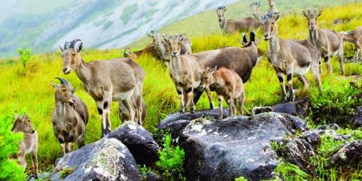 A Herd Of Nilgiri Tahrs In Munnar.