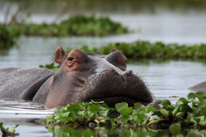 The hippopotamus, raising its body out of water.