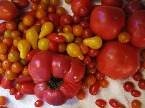 A variety of tomatoes grown on La Vista Farm