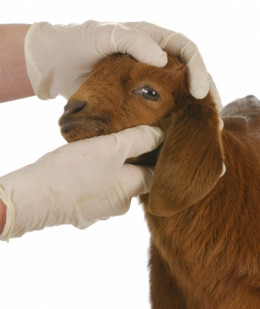 When in doubt, take your goat to the vet!