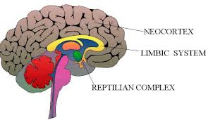 The reptilian brain-basic functions. Limbic brain/Middlebrain-Memory switchboard function. Neo cortex-memory storage, which is split between The left brain (logical thought) and right brain, which is (creative thought)