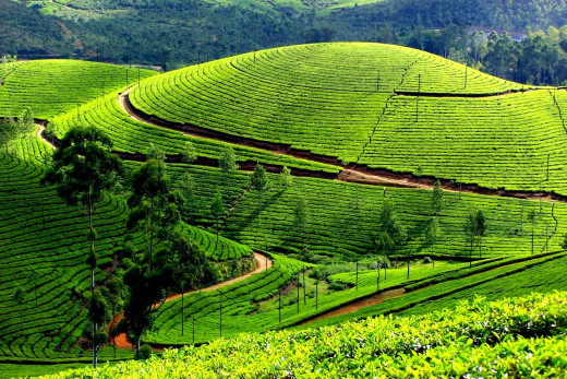 The Tea Plantations Of Munnar in Kerala.