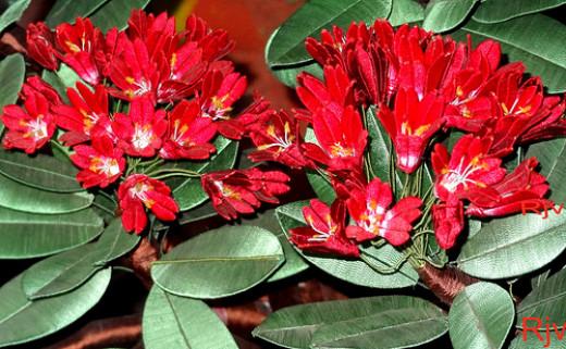 Red bells of thread garden, Ooty