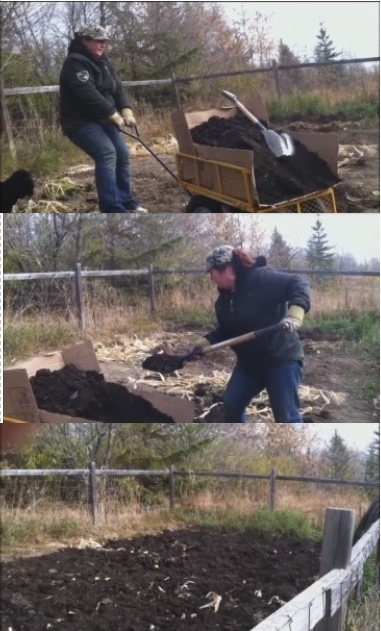 Adding good aged farm manure compost to the garden soil.