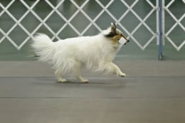 The dumbbell retrieve in competition obedience performed by the author's color-headed white Shetland Sheepdog, Jericho.
