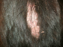 Fleas cause hair loss and red, irritated patches of skin.