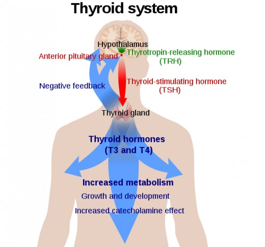 Thyroid system showing interaction with other glands.