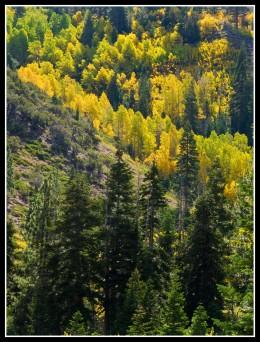 Autumn aspens along Whites Creek