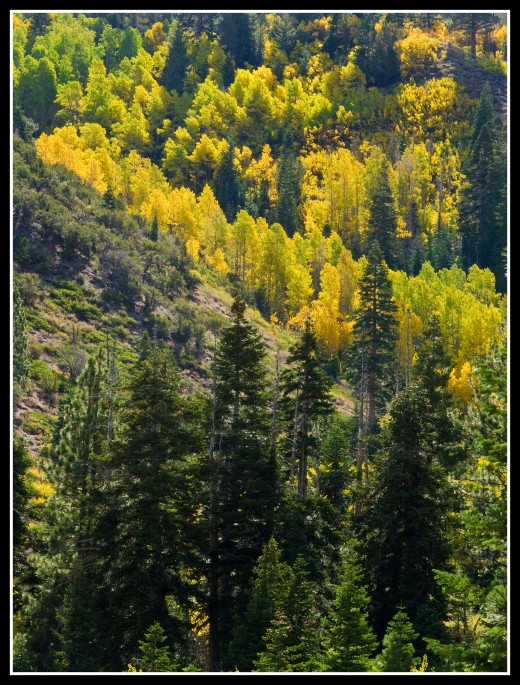 Autumn aspens along Whites Creek