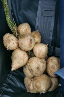 The Mexican Potato: Jicama, a Lesser Known Edible Tuber