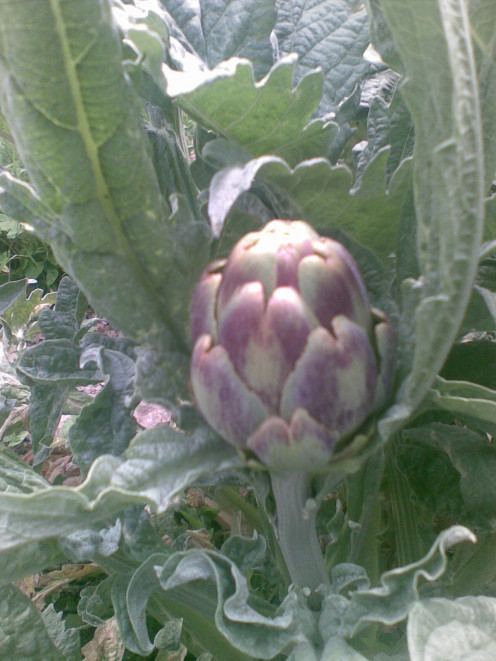 Our first Artichoke