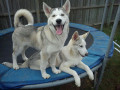 You want a Siberian Husky?