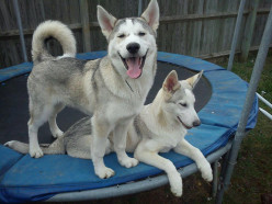 You want a Siberian Husky?