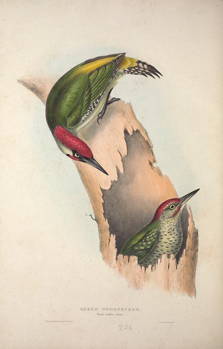 Birds of Europe Gould-1837