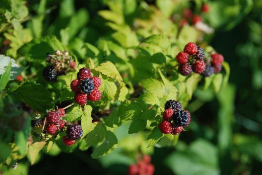 Flavonoid rich food - berries