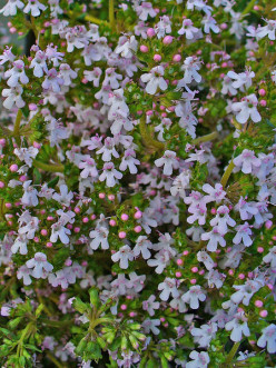 Picture of  Common Garden Thyme.