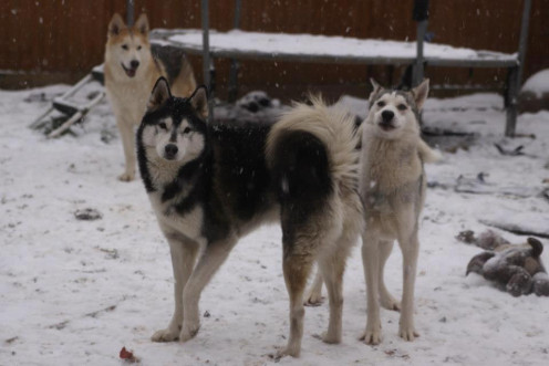 The Husky Pack enjoying the Snow