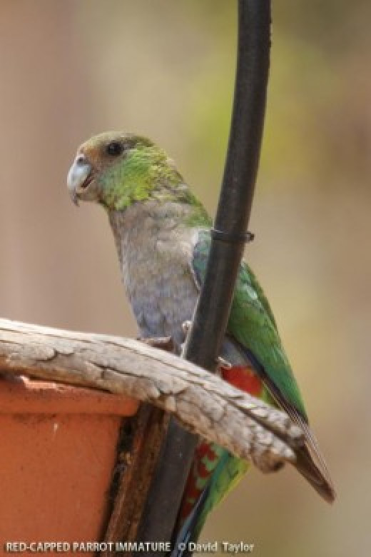 Female Red-Capped Parrot of Western Australia