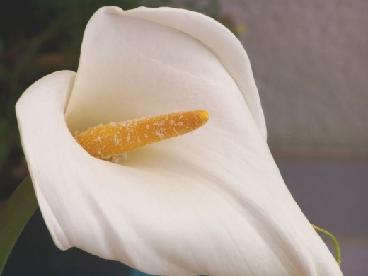 the plants are Cousins.  Amorphophallus titanus, and Zantedeschia aethiopica are related